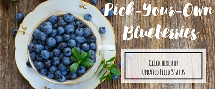 Pick-Your-Own Blueberries